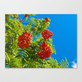Rowan tree  with red berries Canvas Print