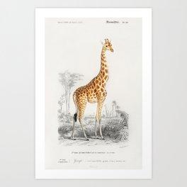 Vintage Giraffe (Giraffa Camelopardalis) Illustration Art Print