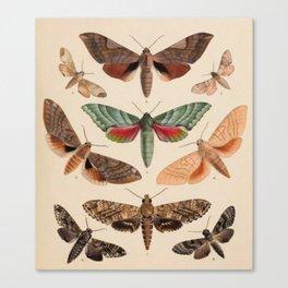 Vintage Natural History Moths Canvas Print