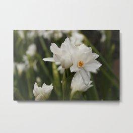 White Jonquils | Flower | Floral Metal Print