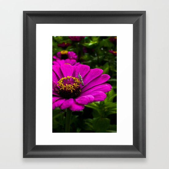 Zinnia with insect Framed Art Print