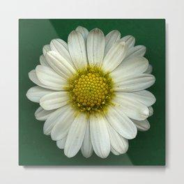 Single White Chrysanthemum Metal Print