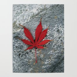 Japanese maple leaf on Rock Poster