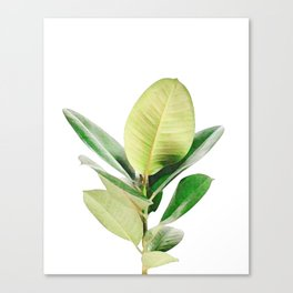 Rubber tree Canvas Print