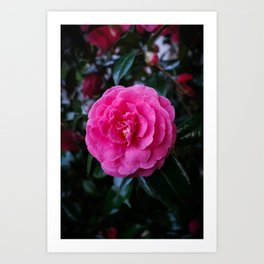 Comely Camellia Art Print