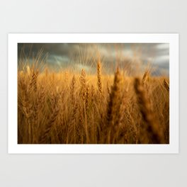 Harvest Time - Golden Wheat in Colorado Field Art Print