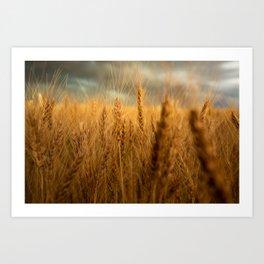 Harvest Time - Golden Wheat in Colorado Field Art Print