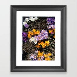 Late Winter Crocuses Framed Art Print