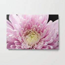 Pink Chrysanthemum In Bloom Metal Print
