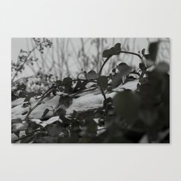 Snow covered ivy Canvas Print