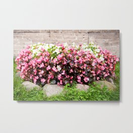 pink Begonia semperflorens clumps Metal Print