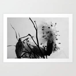 Asclepias syriaca Art Print