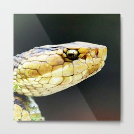 Watercolor Snake, Water Moccasin 07, Merchants Millpond, North Carolina, Watch Out! Metal Print