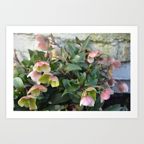 Pink flowers against an old brick wall Art Print
