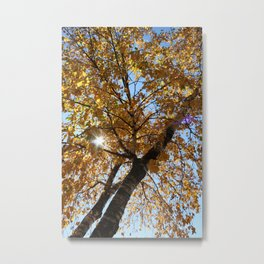 Birch Trees in Sunlight Metal Print