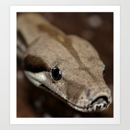 Boa Constrictor Head shot Art Print