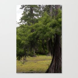 Cypress Tree in Spring Canvas Print