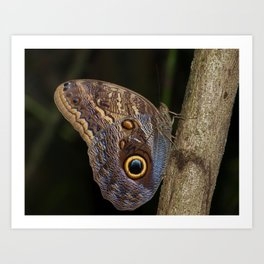 Owl butterfly in Costa Rica - Tropical moth Art Print