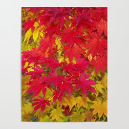 Scarlet and gold autumn maple leaves Poster