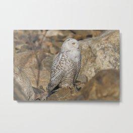 Snowy Owl on the Rocks Metal Print