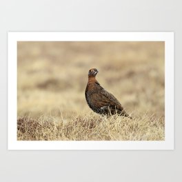 Grouse Art Print