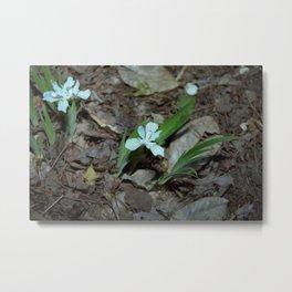 Crested Iris - Iris cristata cv. Alba Metal Print