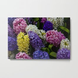 Colorful Hyacinth Blossoms Growing Together in a Garden in Amsterdam, Netherlands Metal Print