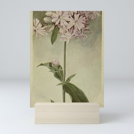 Vintage Botanical Print - Bouncing Bet / Wild Sweet William Mini Art Print