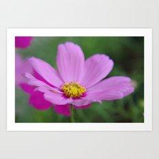 Cosmos Blossom Art Print