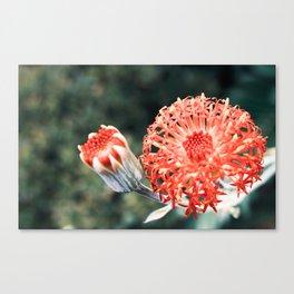 Beautiful Kleinia flower Canvas Print