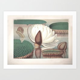 Amazon Water Lily Art Print