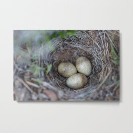 Horned lark nest and eggs - Yellowstone National Park Metal Print