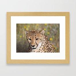 Cheeta Head looking Framed Art Print