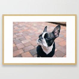 Bruce the Boston Terrier Pug Framed Art Print