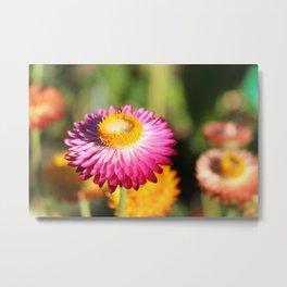 Straw Flowers, Hansville, WA Metal Print