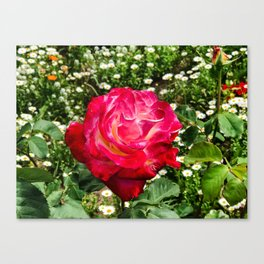 Rose in San Diego Canvas Print