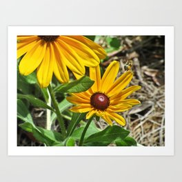Black-eyed Susans and a Busy Bee Art Print