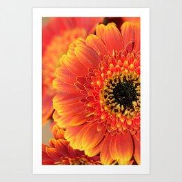 Sunset Gerbera Daisy macro Art Print