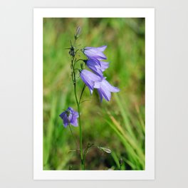 Violet blue Harebell Flower Art Print