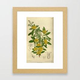 Daphne giraldii, Thymelaeaceae Framed Art Print