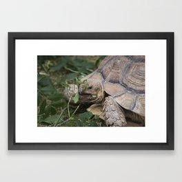 Tortoise #1 Framed Art Print