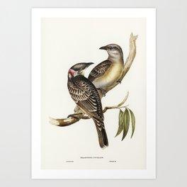 Great Bower Bird (Chlamydera nuchalis) illustrated by Elizabeth Gould (1804–1841) for John Gould's ( Art Print
