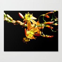 Bulbine flower on black Canvas Print
