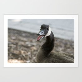 Squawking Canadian Goose Art Print
