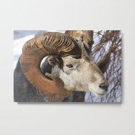 Altai argali Metal Print