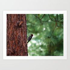 Red-naped Woodpecker Art Print