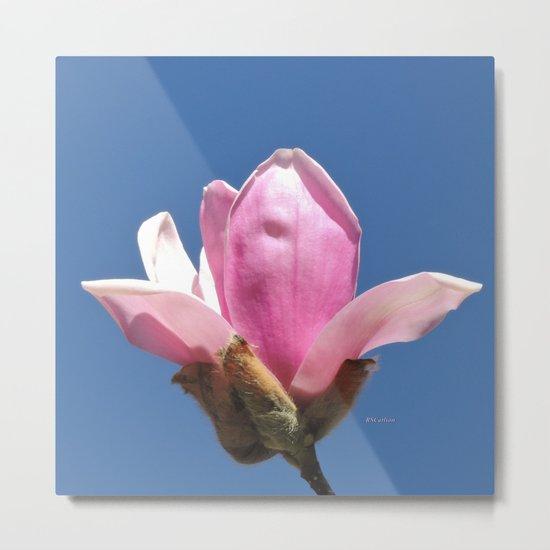 Magnolia Blossom on a Sky Blue Field Metal Print