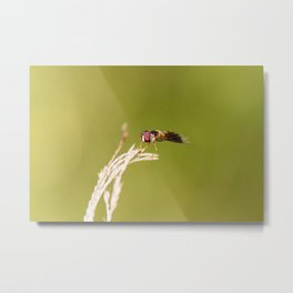 Grey-banded Hover Fly Metal Print