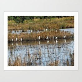 White Egrets Resting and Grooming Art Print