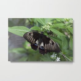 A Swallow tail Butterfly Metal Print